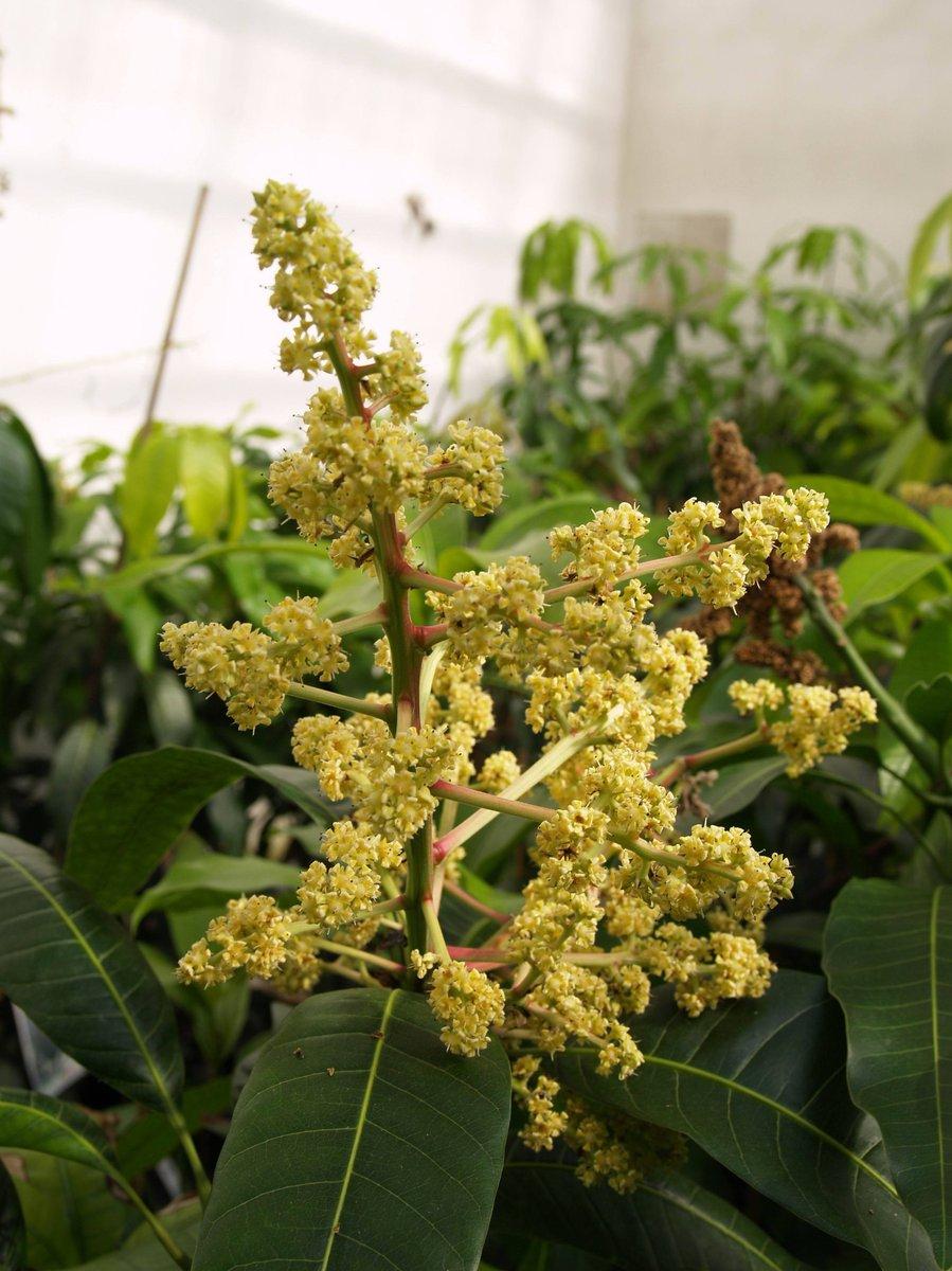 Takto kvete mango, které také velmi příjemně voní.