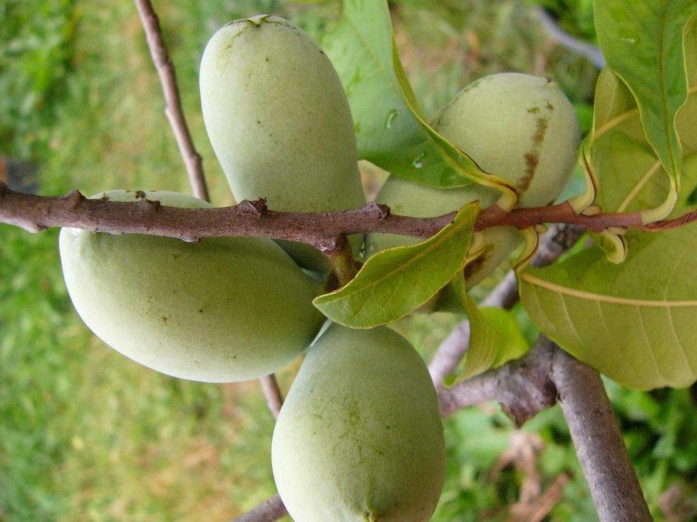 Pawpaw neboli banán severu objevili severoameričtí indiáni.