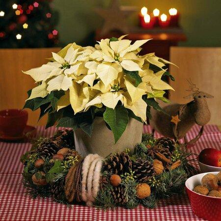 Vánoční hvězda může být umístěna uprostřed adventního věnce