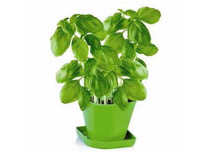 Bazalku si můžete pořídit i jako předpřipravenou sadu pro pro pěsotvání bylinek. Nabízí ji například Tescoma
