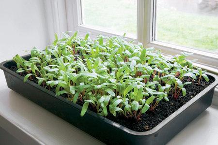 Nechystáte-li se sklízet zeleninu ve velkém, vystačíte si při předpěstování i s parapetem okna.