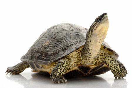 Želvy jsou oblíbená zvířata, ideální pro alergiky. Ale pozor, některé druhy jsu chráněné CITES a musí být pečlivě evidovány.