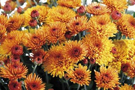 Chryzantémy mají krásně syté barvy, které rozzáří každý balkón.