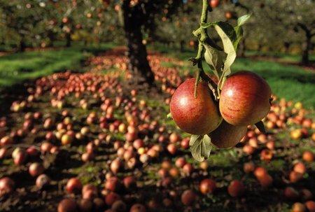 """Jedno """"naťuknuté"""" jablíčko může nakazit spoustu dalších."""