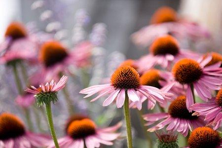 Třapatka nachová je krásná trvalá květina, která léčí.
