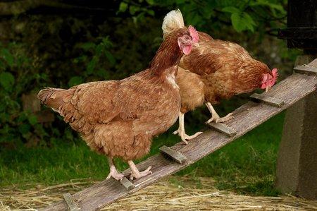 Žebříčky slepicím zjednodušší přístup do kurníku.
