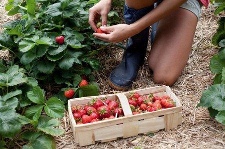 Zahrádkáři doporučují jahody obestlat vrstvou slámy nebo je pěstovat na vyvýšenných hrůbcích na černé fólii.
