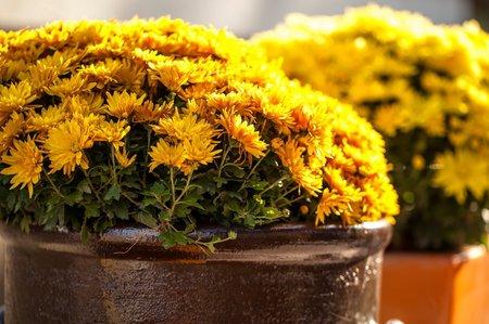 Chryzantémy mají krásně jasné barvy, které rozzáří i starý květináč.