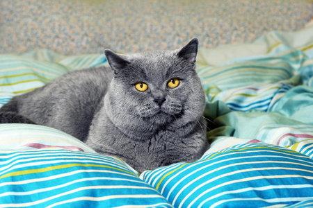 Britské kočky své majitele občas ignorují, ale to neznamená, že je nemají rády.
