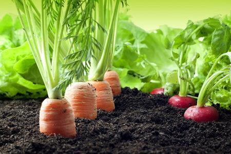 Na záhony už můžete dál odolnější druhy zeleniny.