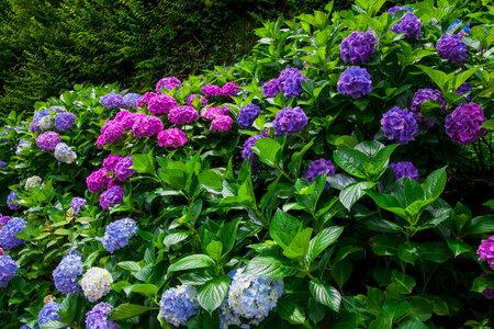 Květy hortenzií  budou na stinném stanovišti málo barevné.