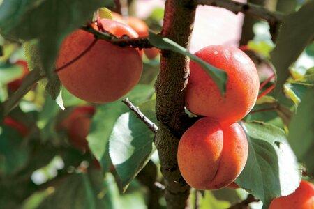 U peckovin se po základním řezu v době kvetení a záhy po odkvětu udělá další řez po sklizni plodů.