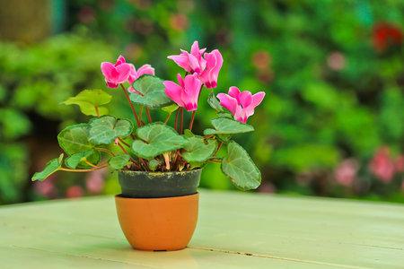 Brambořík zalévejte jen do misky pod květináčem, když namočíte hlízu, může plesnivět.