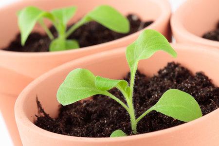 Semínka petúnií se nechávají na povrchu substrátu a nezasypávají. Potřebují teplotu od 20 do 22 °C.