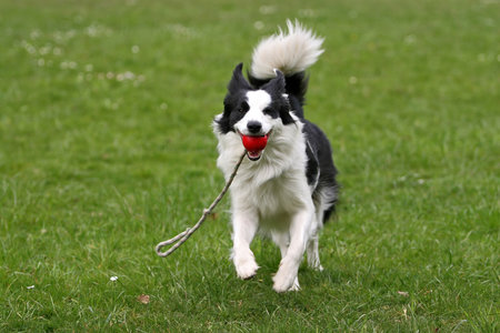Nejoblíbenější psí hračka? Míč! Ten na provázku je skvělý na aport a poslouží i jako odměna na cvičáku.