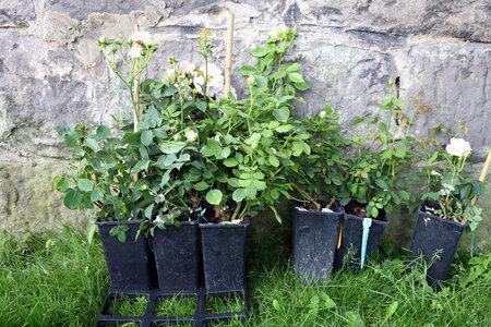 Kontejnerové růže mají bal z rašeliny. , který se rozpadne a obohatí substrát. Pro rostliny je to velmi šetrné, takže se mohou sázet celou sezonu.