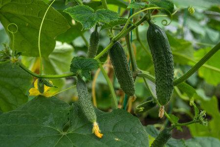 Okurky jsou ideální zeleninou pro zavařování.