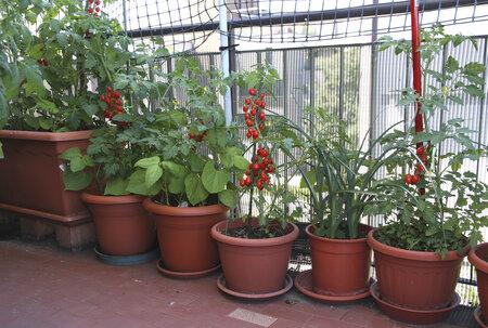 Rajčata milují slunnou polohu a naopak nesnáší přílišnou vlhkost.