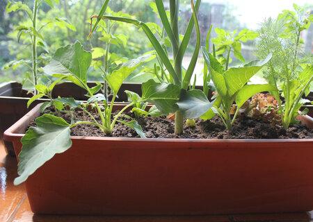 V jednom truhlíku můžete pěstovat víc druhů zeleniny.