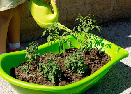 Rajče je poměrně náročnou rostlinou: vyžaduje záhřevnou půdu dostatečně zásobenou živinami.