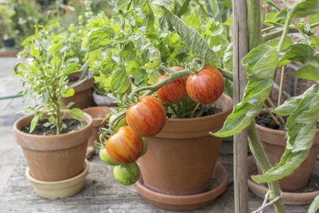 Rajčata můžete pěstovat i v květináči nebo jiné nádobě.