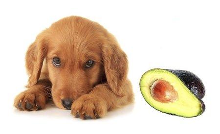 I stále oblíbenější avokádo může být pro psy smrtelné.