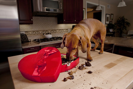 Čím je čokoláda kvalitnější, tím je pro psy nebezpečnější.