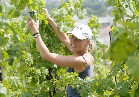 Vinaři mají teď plné ruce práce.