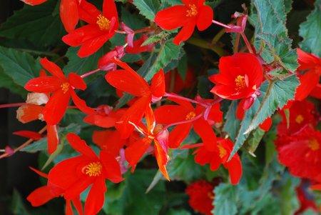 Begónie nás svými květy těšily v létě, teď přišel čas uskladnit hlízy a cibulky květin.