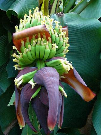 Až začne banánovník plodit, budete určitě překvapeni, jak vlastně trs banánů vypadá.