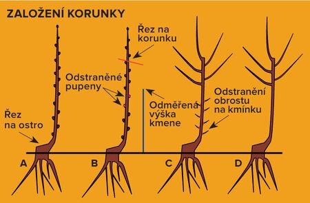Jak založit kournku stromu