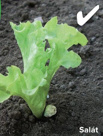 Salát vysazujte pouze v úrovni kořenového krčku.