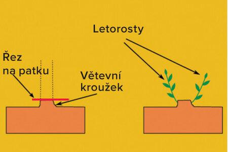 Řez na patku: Podporuje vznik plodonosného obrostu