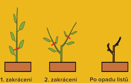 Tímto zásahem lze vytvářet plodný obrost na větvích