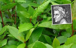 Magický bobkový list: Proč z něj nosili římští císaři na hlavě věnec?