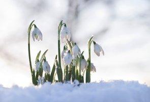 Sněženky: První jarní krásky