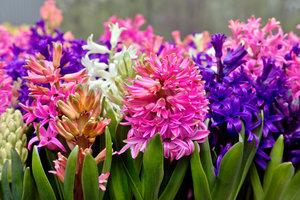 Hyacinty nevyhazujte! Ozdobí vám zahradu