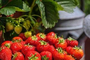 Nedaří se vašemu jahodníku? Poradíme, jak vypěstovat jahody sladké jako med!