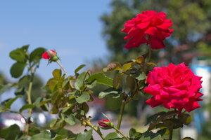 Chraňte si růže! Útočí rez růžová