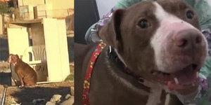 Stačilo trochu lásky: Opuštěného pitbulla zachránili od smrti na smetišti! Zázrakem se uzdravil