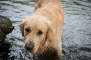 10 nejchytřejších psích plemen: Vyhrál pudl, ovčák nebo borderka?