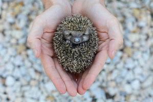 Jak zachránit ježčí mládě? Vykrmte ho před zimou!