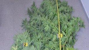 Megarostlina marihuany: mladík ji pěstoval v lese