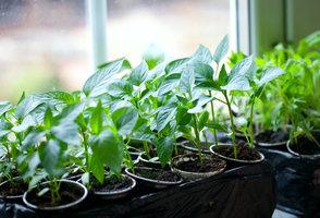 6 kroků, jak si předpěstovat zeleninu za oknem
