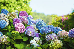 Pěstujeme hortenzie: Jak o ně pečovat, aby bohatě kvetly, a jak je namnožit