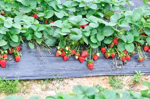 Jak se postarat o jahodníky, aby příští rok byly obsypané plody