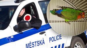 Papoušek v pasti. Vletěl do autosalonu, vrážel do skla a skončil v karanténě