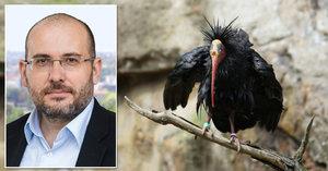 Lapený ibis Gita musí na operaci. Rentgen v pražské zoo ukázal cosi velkého