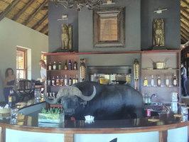Překvapení na safari: Žíznivý buvol obsadil bar, vyděšení turisté se schovali