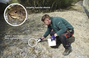 Z kýble rovnou do vody. Zvířecí záchranáři »stěhovali« pražské žáby